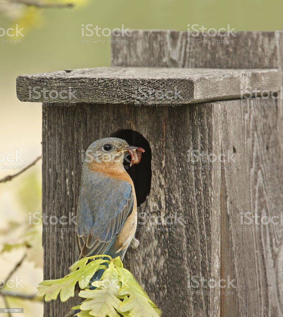 Eastern Bluebird royalty-free stock photo