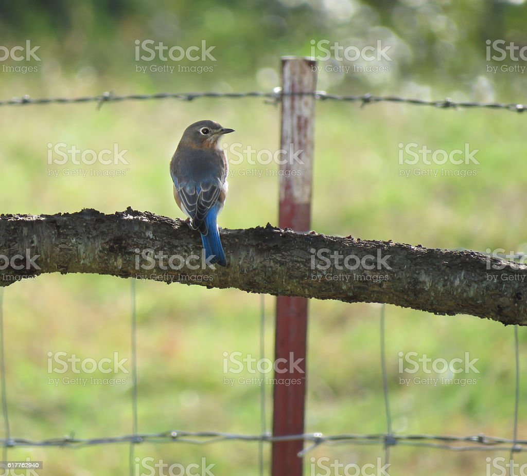 Eastern Bluebird, rural setting with fence stock photo