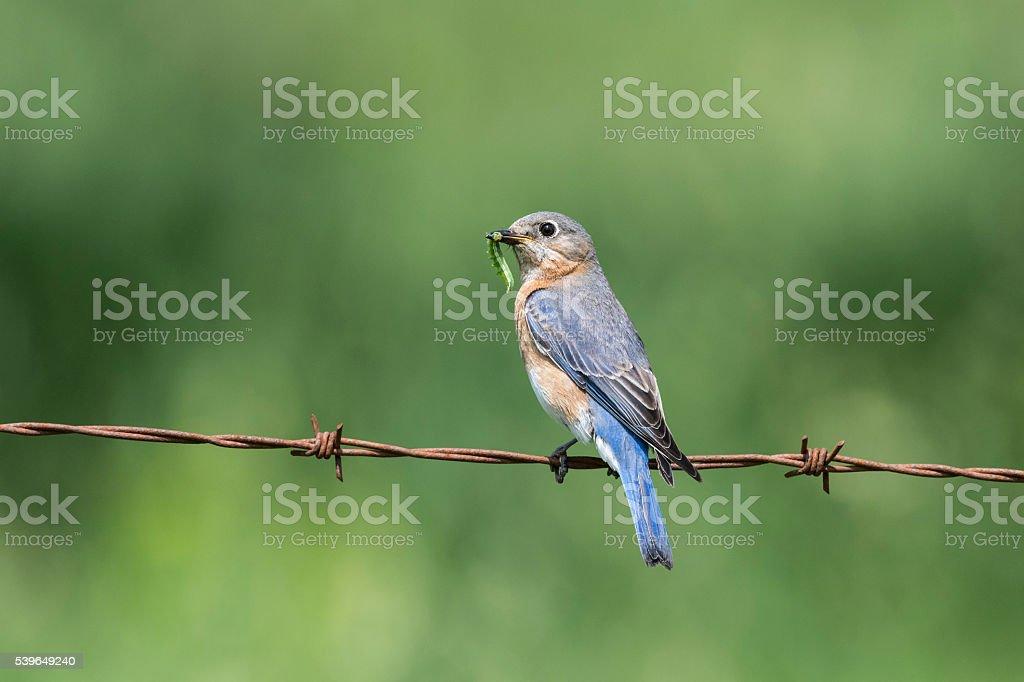 Eastern Bluebird, Sialia sialis, female bird perching and eating worm stock photo