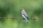 Eastern Bluebird, Sialia sialis, female bird perching and eating worm
