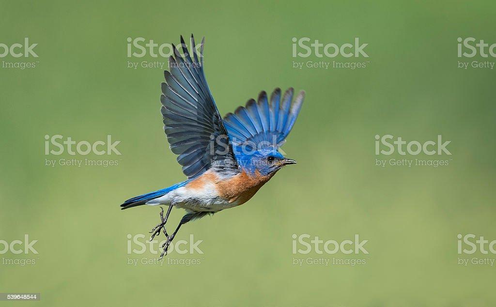 Eastern Bluebird, Sialia sialis, male bird in flight stock photo