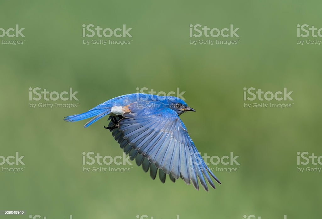 Eastern Bluebird, Sialia sialis, male bird in flight stock photo