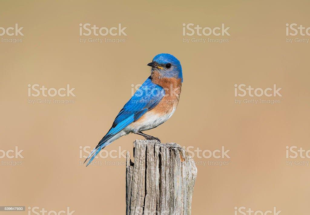 Eastern Bluebird, Sialia sialis, male bird perching on pole stock photo