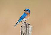 Eastern Bluebird, Sialia sialis, male bird perching on pole