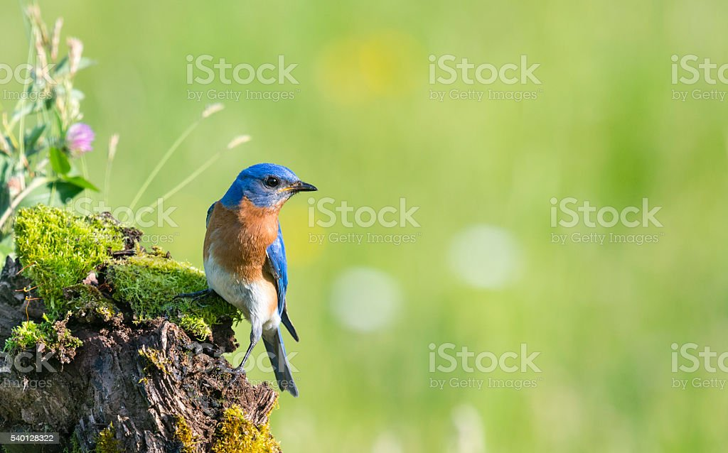 Eastern Bluebird, Sialia sialis, male bird perching stock photo