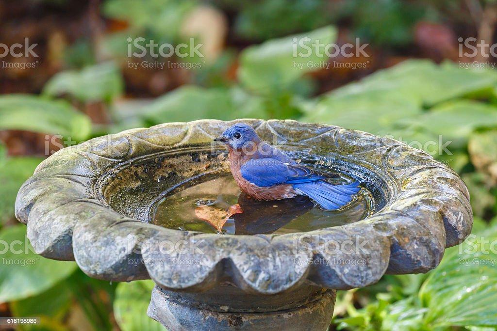 Eastern Bluebird (Sialia sialis) Sitting In a Birdbath stock photo
