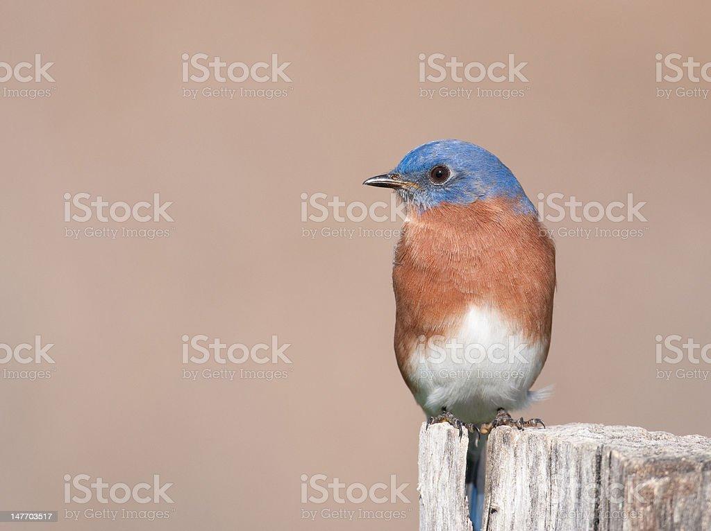 Eastern bluebird sitting on post royalty-free stock photo
