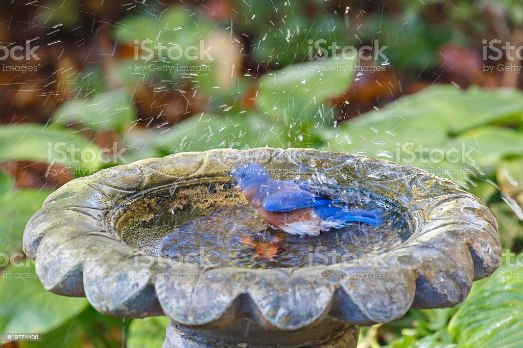 Eastern Bluebird (Sialia sialis) Splashing In a Bird Bath stock photo