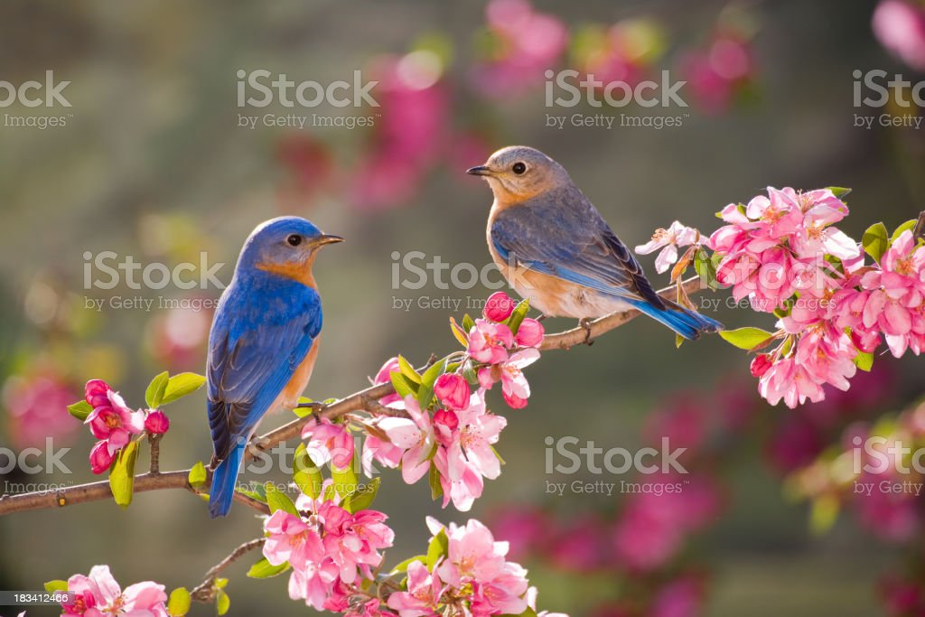 Eastern Bluebirds, male and female royalty-free stock photo