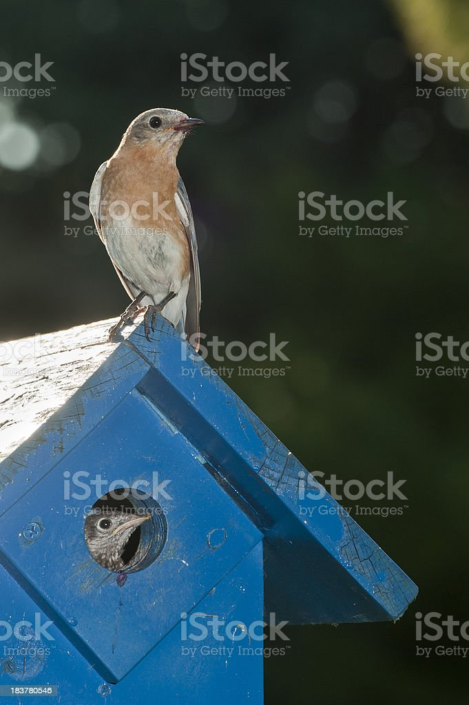 Eastern Bluebirds royalty-free stock photo