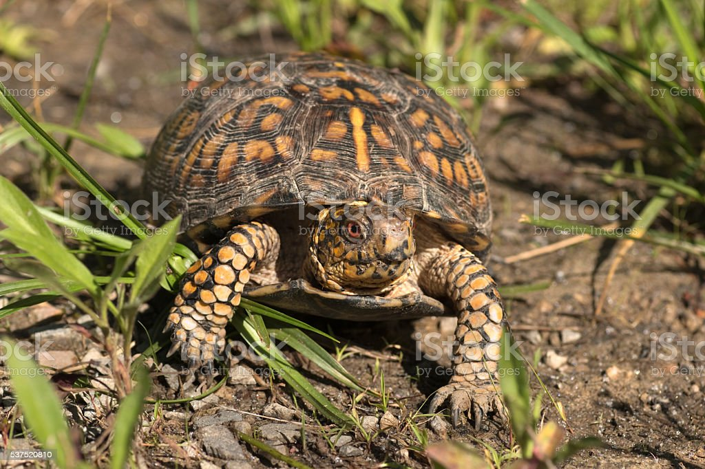Eastern box turtle Daniel Boone National Forest Kentucky stock photo