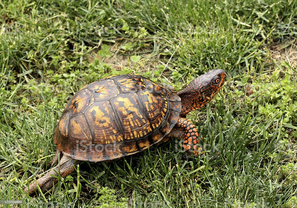 Eastern Box Turtle-Full View stock photo