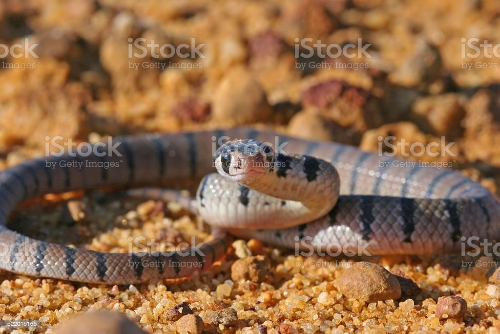 Eastern Brown Snake Baby stock photo
