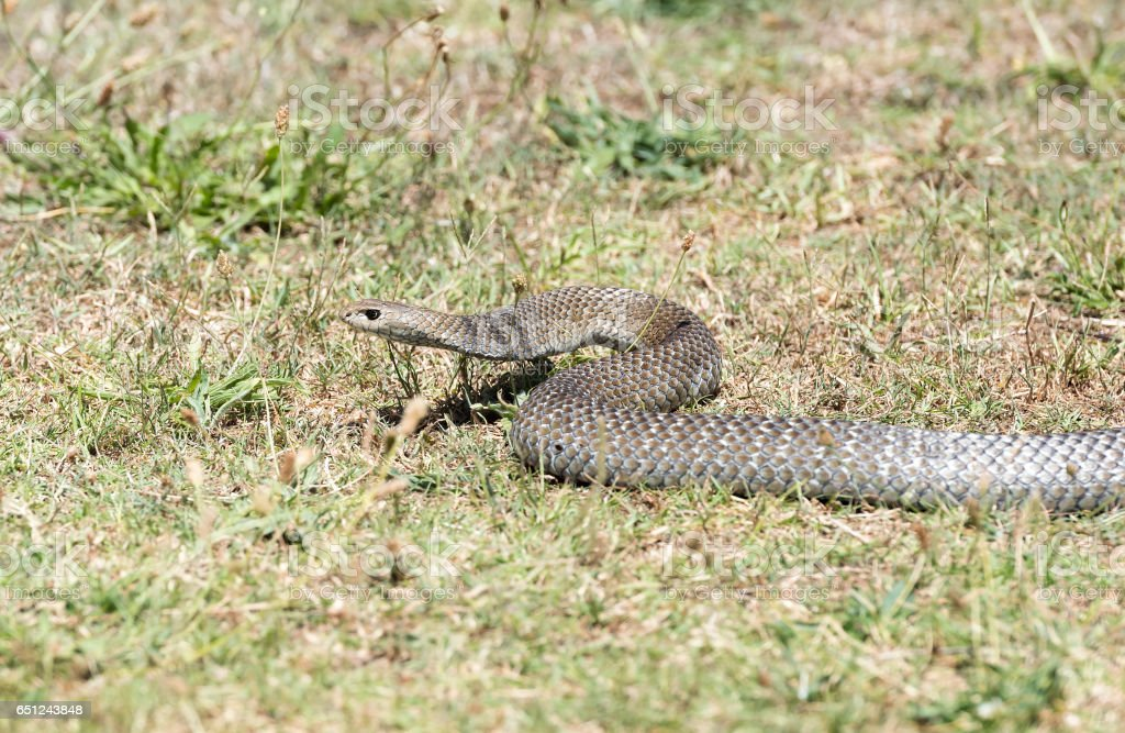 Eastern brown snake stock photo