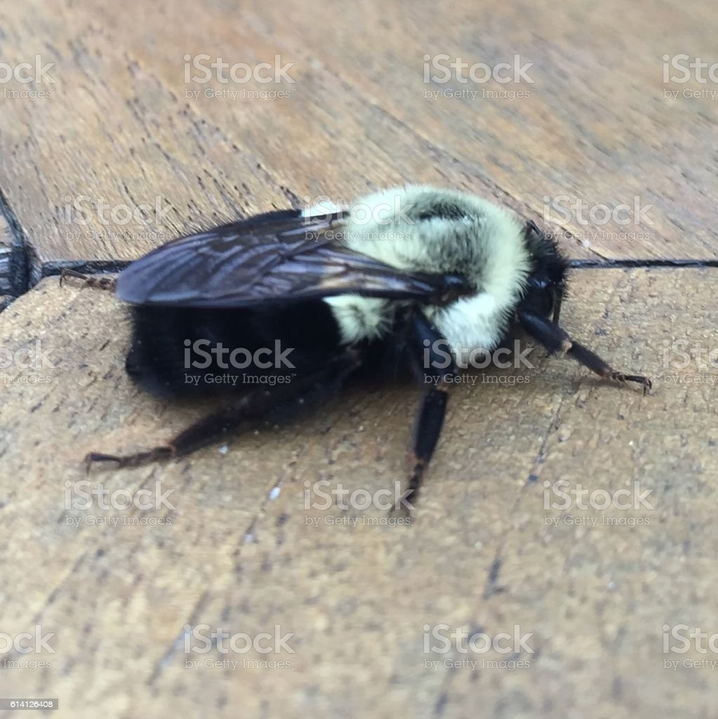 eastern carpenter bee stock photo