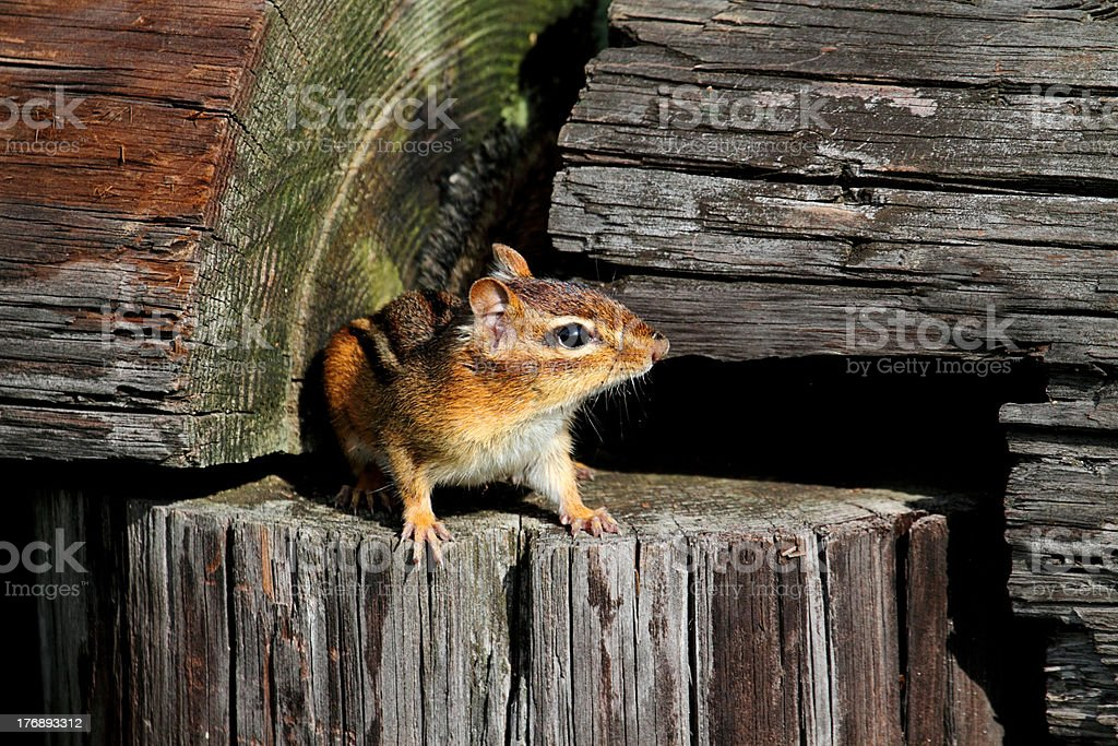 Eastern Chipmunk (Tamias striatus) stock photo