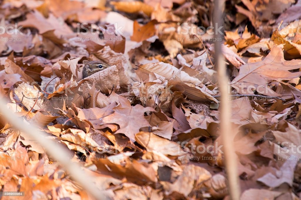 Eastern Chipmunk (Tamias Tamias) stock photo