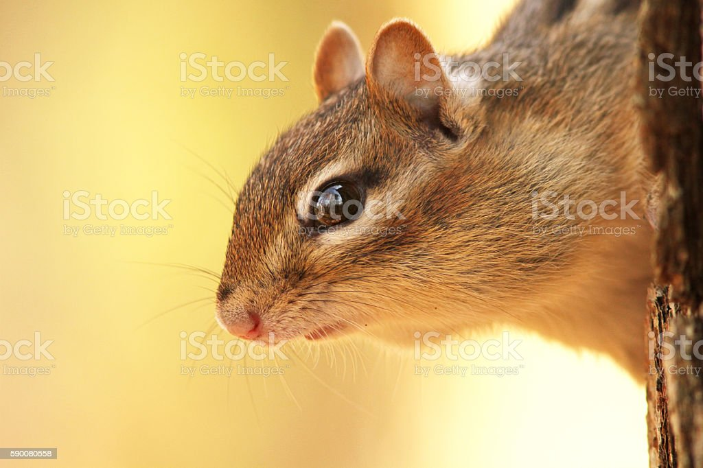 Eastern Chipmunk portrait stock photo