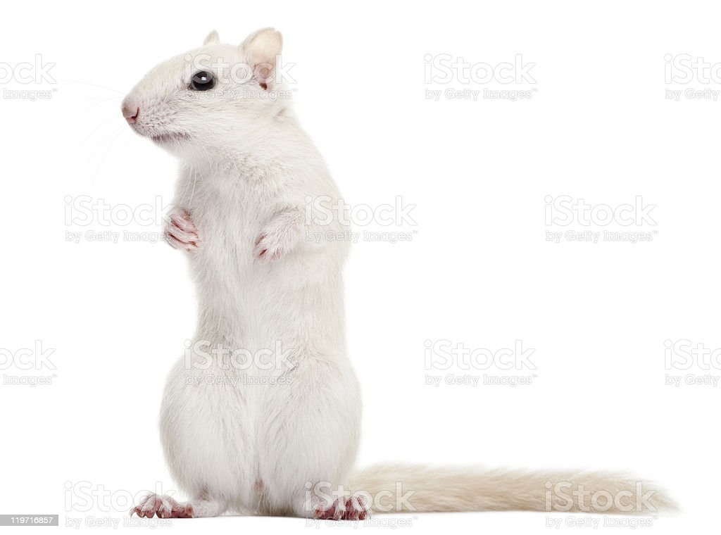 Eastern Chipmunk, Tamias striatus, 2 years old, standing, white background royalty-free stock photo