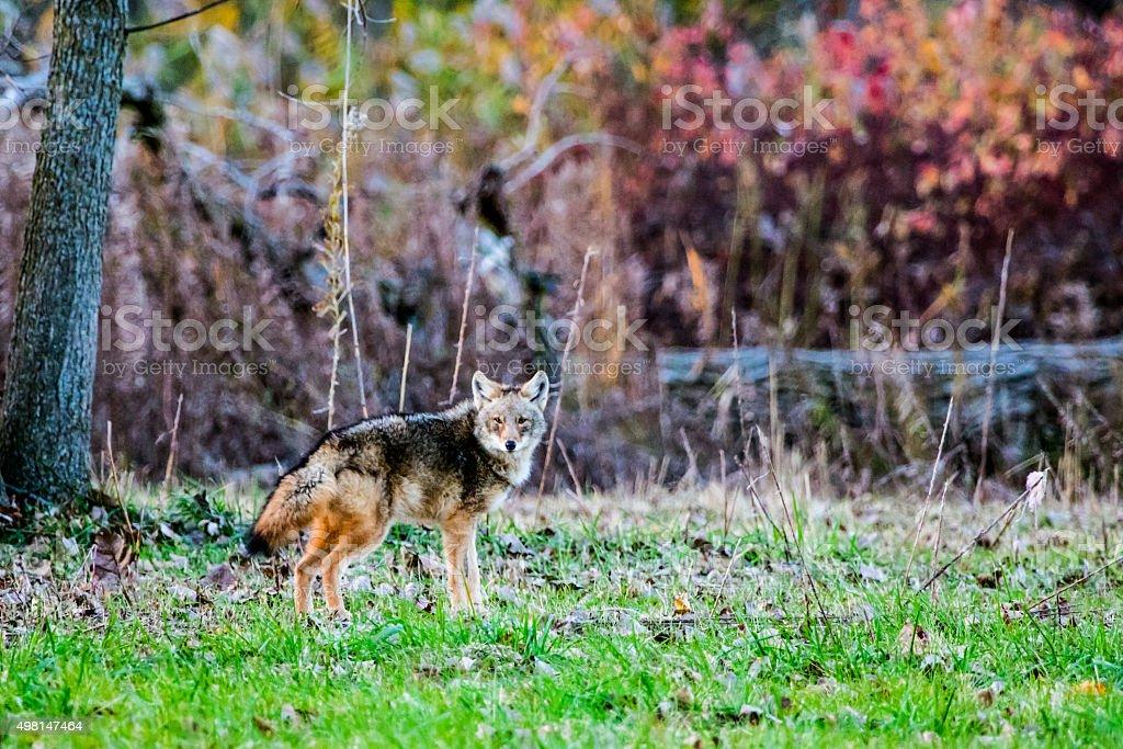 Eastern Coyote stock photo