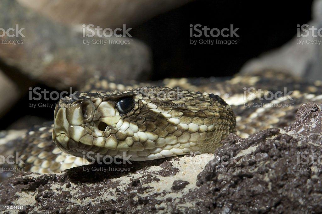Eastern Diamondback Rattlesnake - Crotalus adamanteus stock photo
