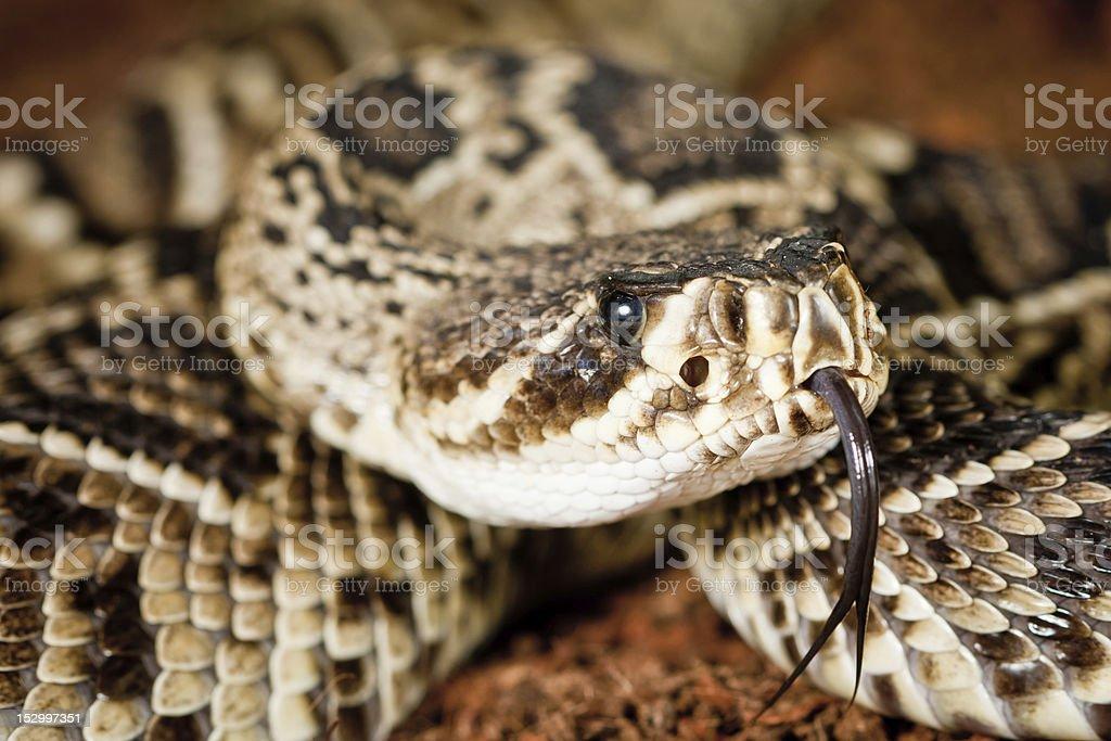 Eastern Diamondback Rattlesnake (Crotalus Adamanteus) royalty-free stock photo