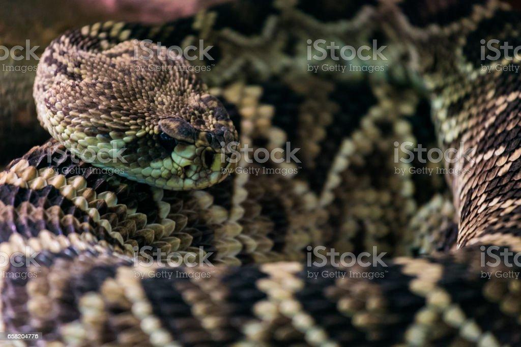 Eastern diamondback rattlesnake stock photo