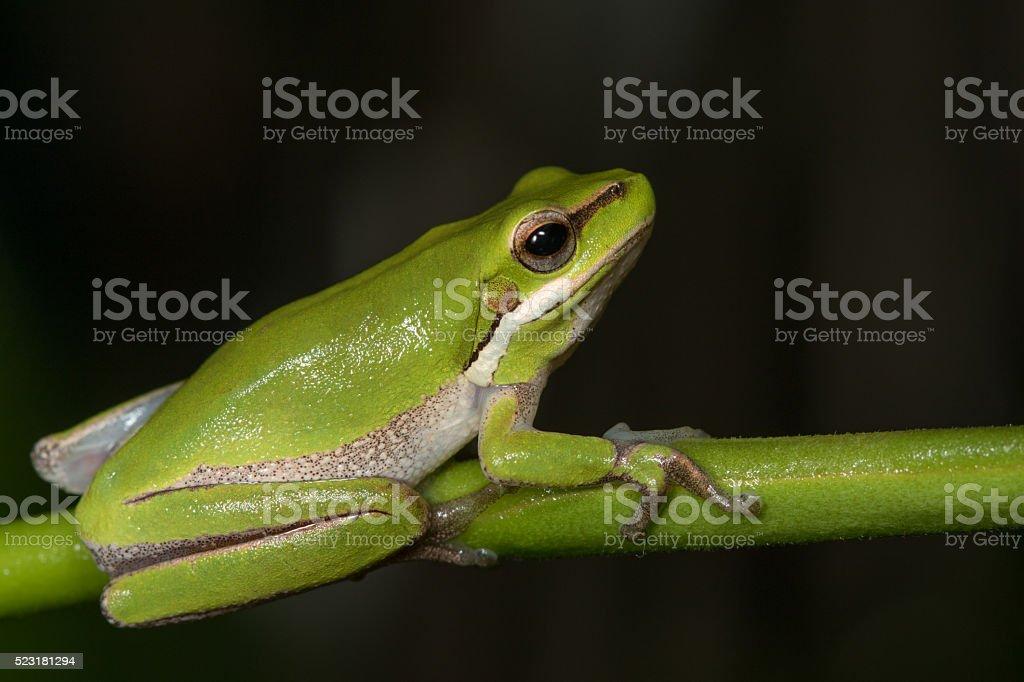 Eastern Dwarf Tree Frog (Litoria fallax) stock photo