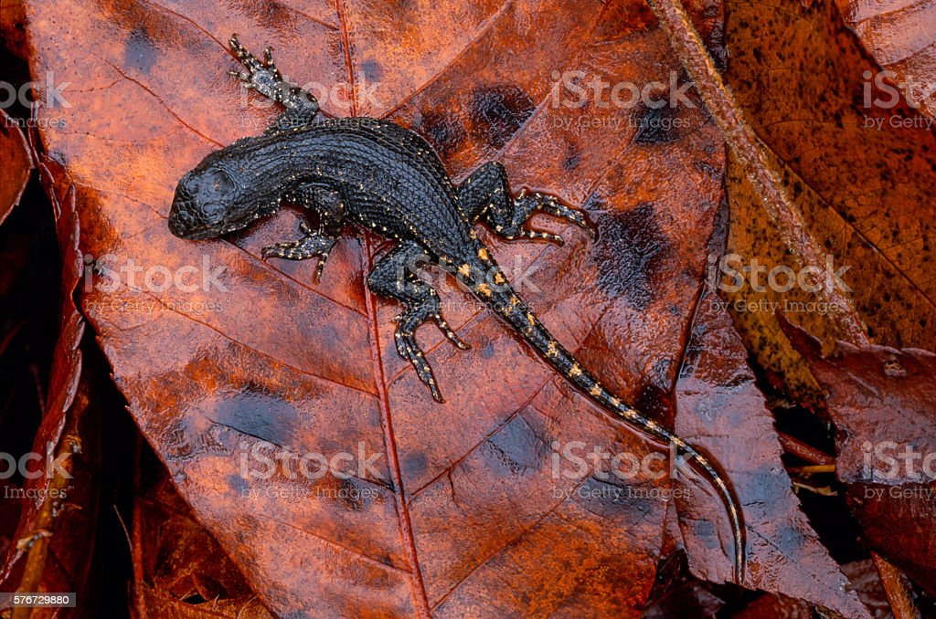 Eastern Fence Lizard, Mount Magazine, Arkansas stock photo