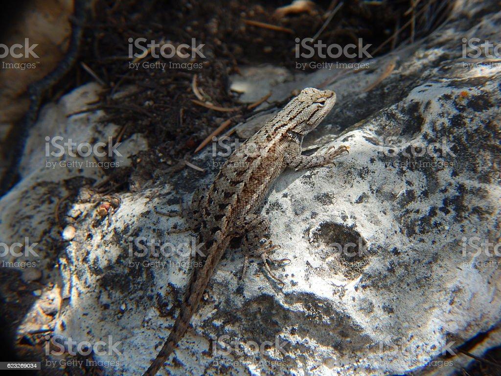 Eastern Fence Lizard stock photo