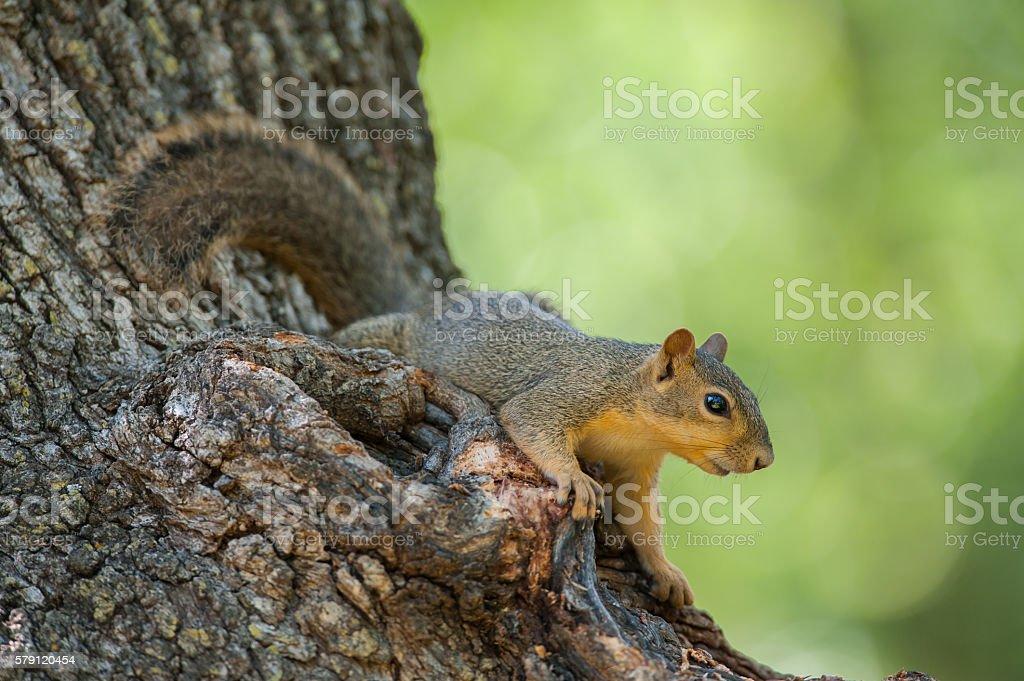 Eastern Fox Squirrel, Camp Doris, Wichita Mountains, Oklahoma stock photo