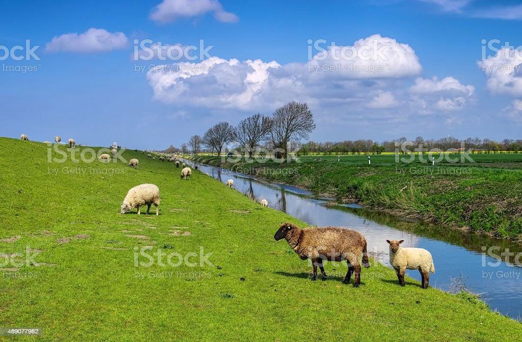 Eastern Friesland sheeps stock photo