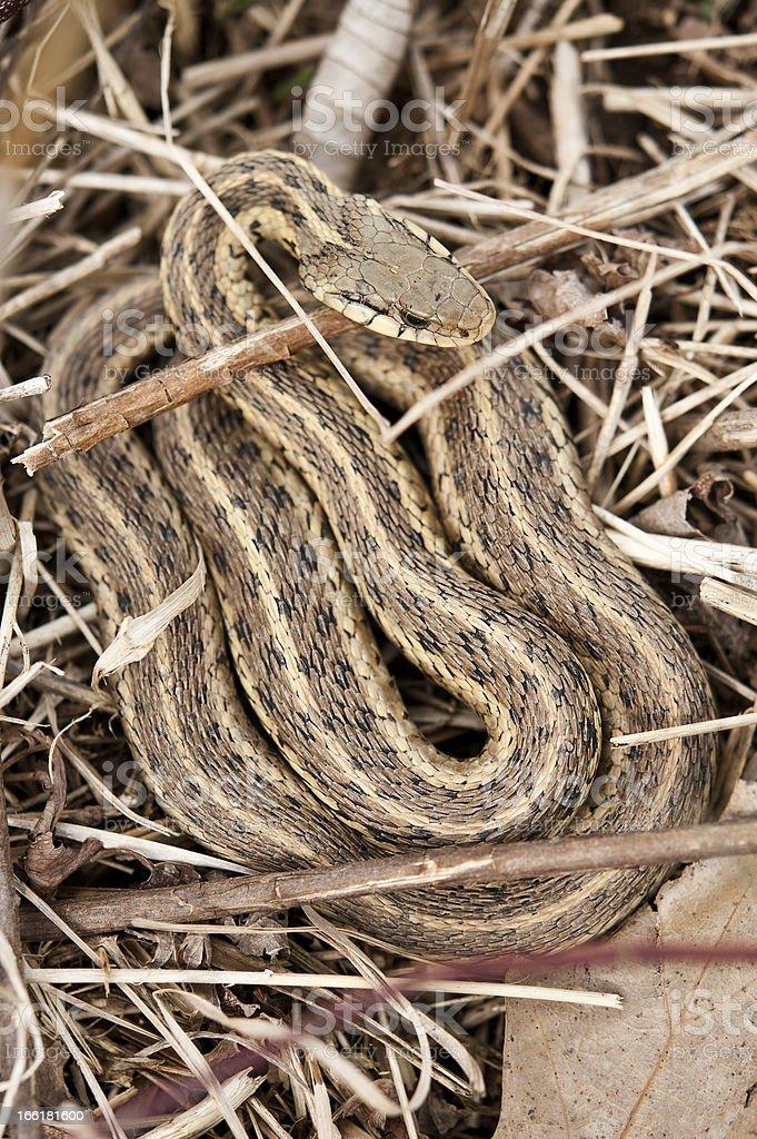 Eastern garter snake - Thamnophis sirtalis royalty-free stock photo
