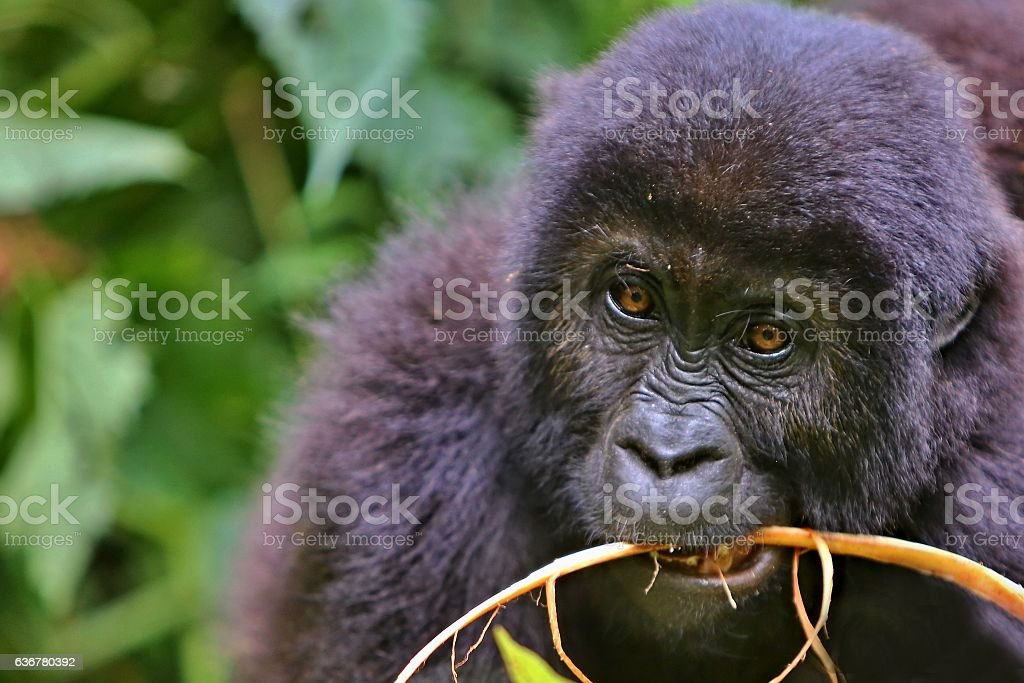 Eastern gorilla in the beauty of african jungle stock photo