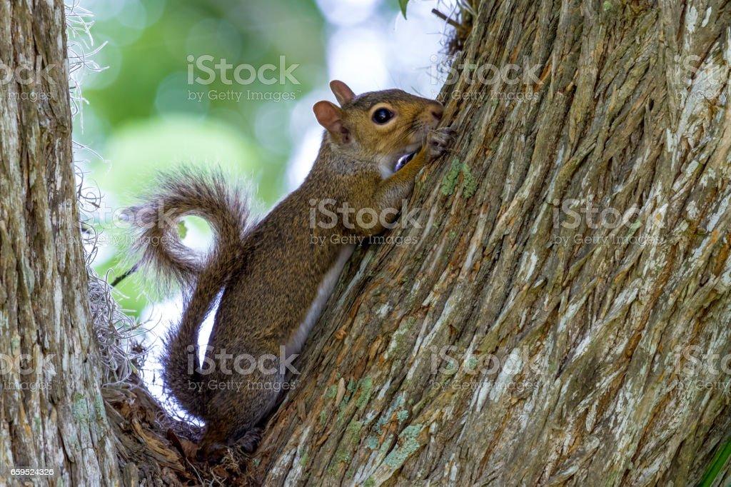 Eastern Gray Squirrel (Sciurus carolinensis) Profile with Curled Tail. stock photo