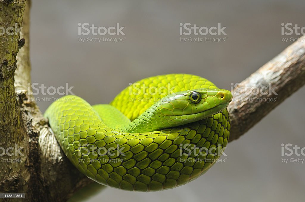 Eastern green mamba on a branch stock photo