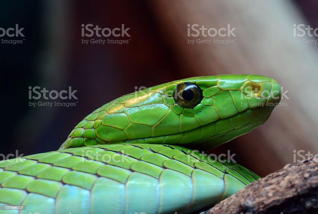 Eastern green Mamba royalty-free stock photo