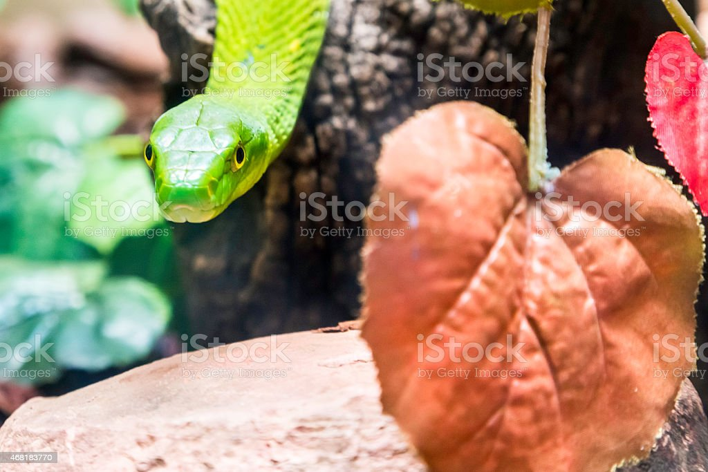 Eastern green mamba (Dendroaspis angusticeps) stock photo