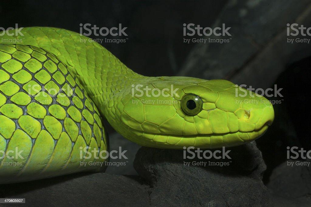 Eastern Green Mamba - Venomous Snake stock photo