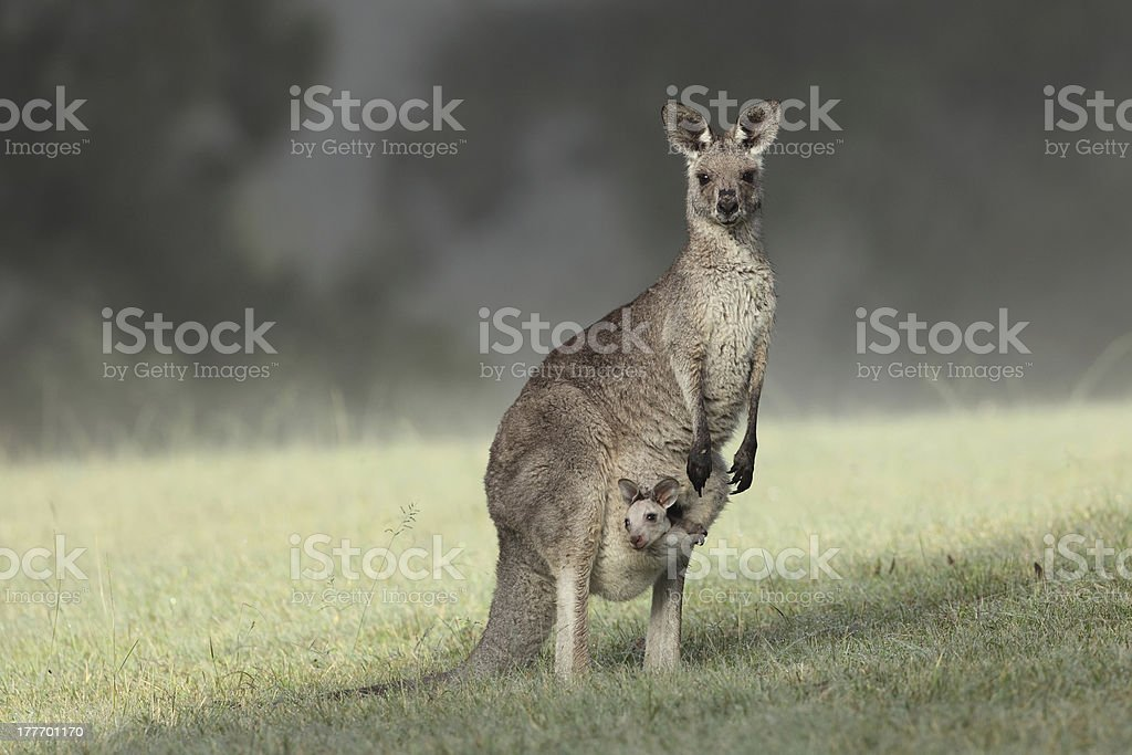 Eastern Grey Kangaroo and joey stock photo