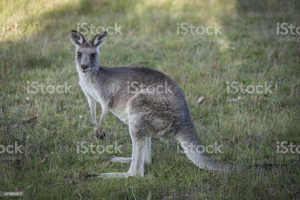 Eastern Grey Kangaroo, Australia royalty-free stock photo