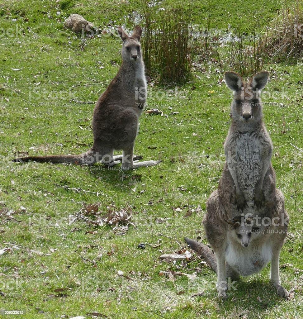 Eastern Grey Kangaroo & Joey stock photo