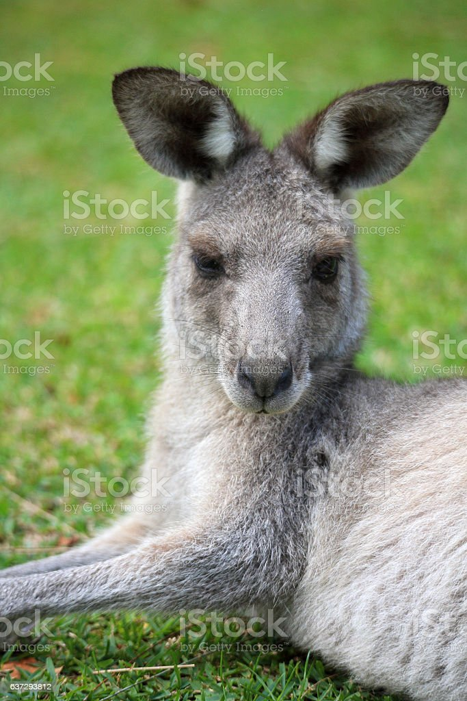 Eastern Grey Kangaroo stock photo