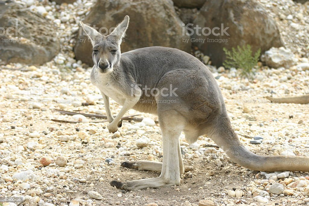 eastern grey kangaroo royalty-free stock photo