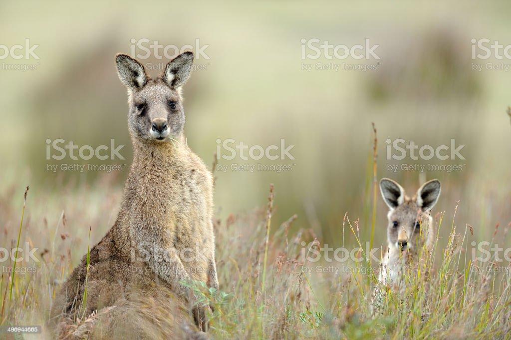 Eastern Grey Kangaroo, Tasmania, stock photo