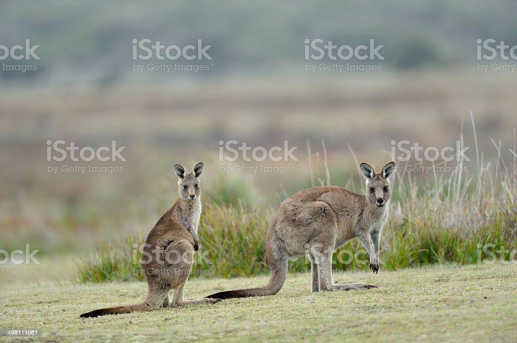 Eastern Grey Kangaroo, Tasmania, royalty-free stock photo