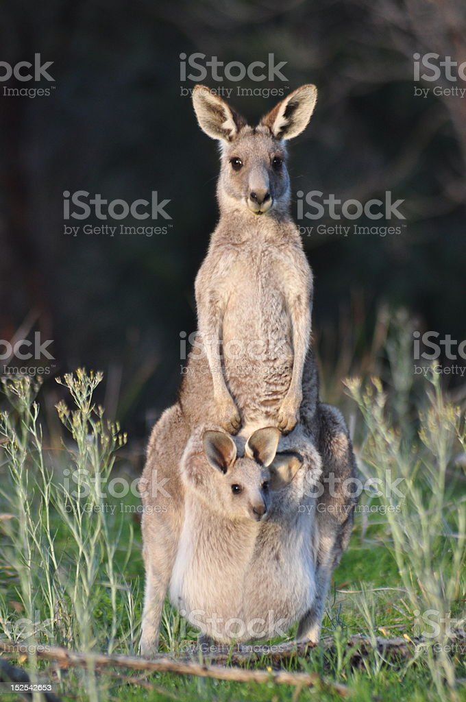 Eastern grey kangaroo with the baby stock photo