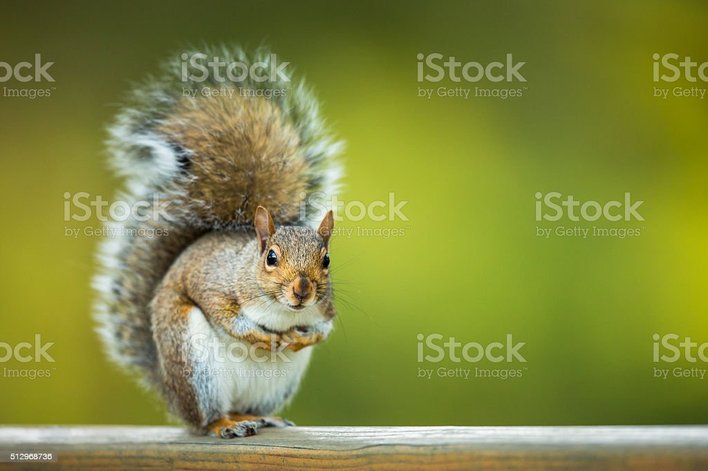 Eastern Grey Squirrel in the nature, fresh green grass background