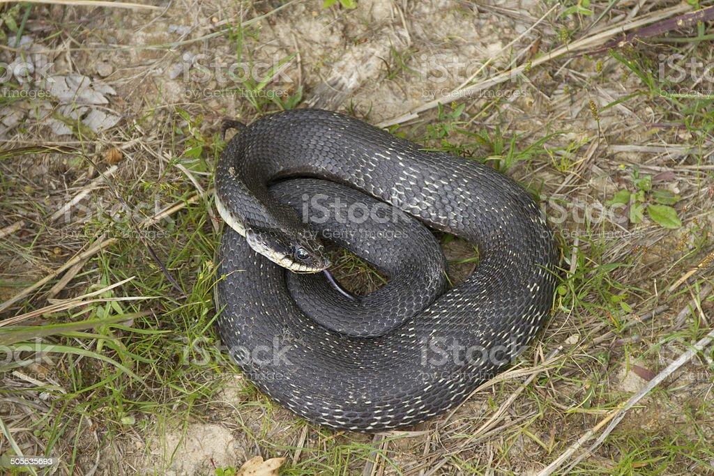 Eastern hognose snake coiled stock photo
