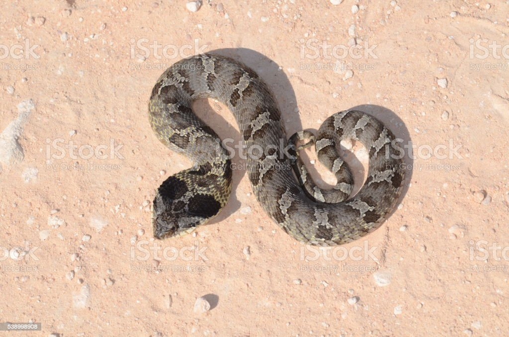 Eastern Hognose snake coiled up, with flattened head stock photo